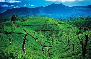 Sri Lankan Tea Estate