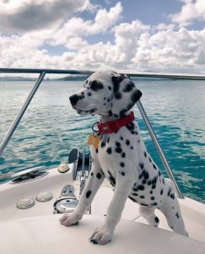 Dalmatians are incredibly cute, but should you buy one for your bambini?
