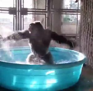 This splashing gorilla will make your day