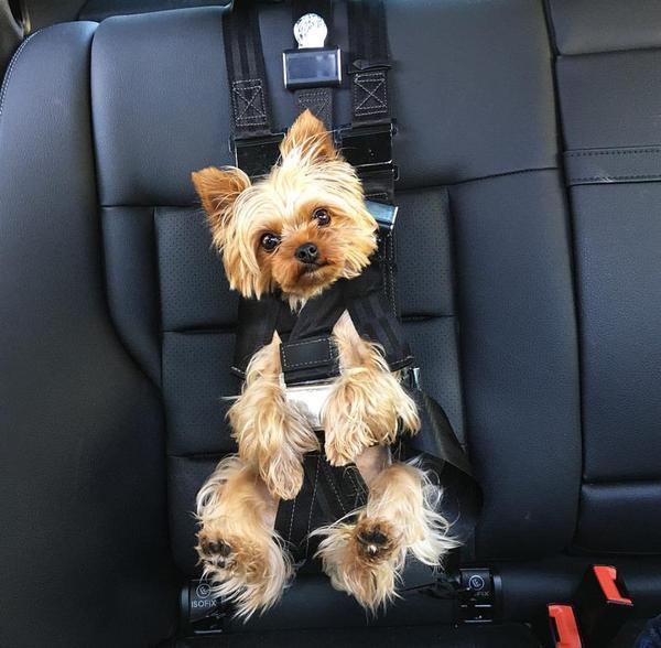 Dog Seat Belt Harness >> Dog Seatbelt