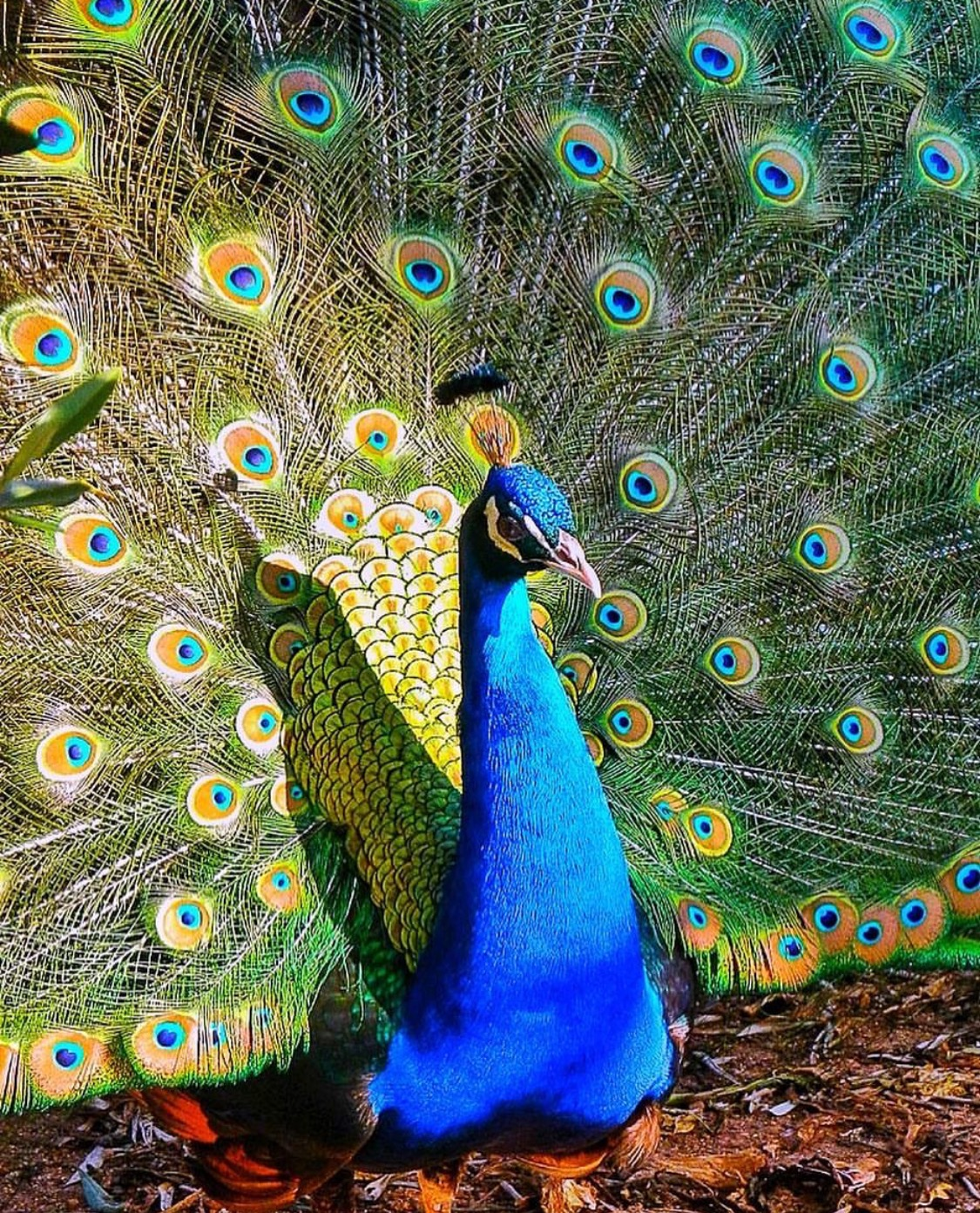There's something incredibly regal about peacocks
